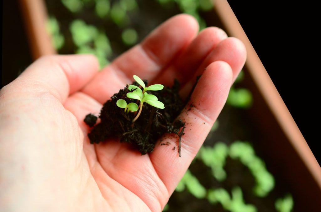 Pflanzen pikieren