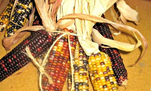 ornamental-corn-686736_1920