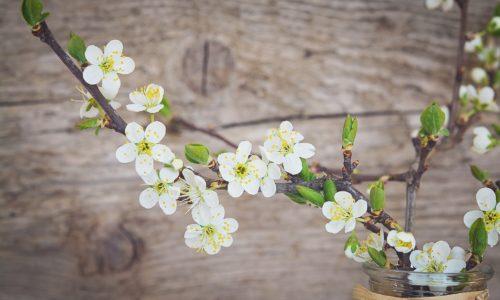 cherry-blossoms-1389798_1920